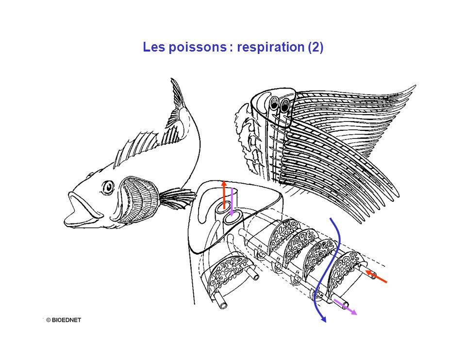 Les poissons : respiration (2)