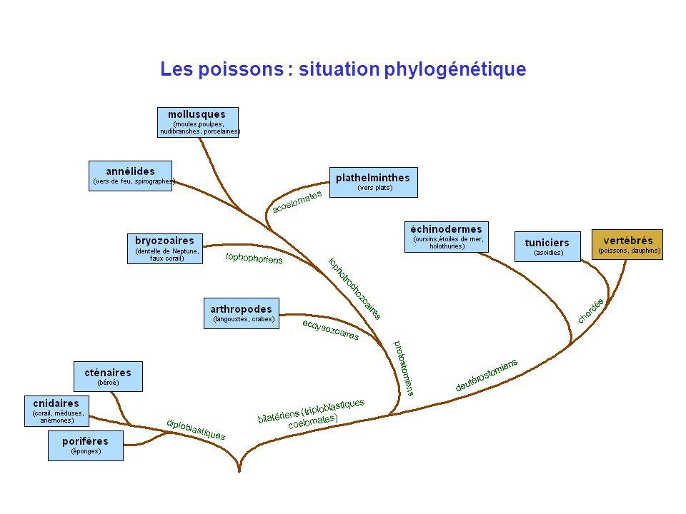 Les poissons : situation phylogénétique