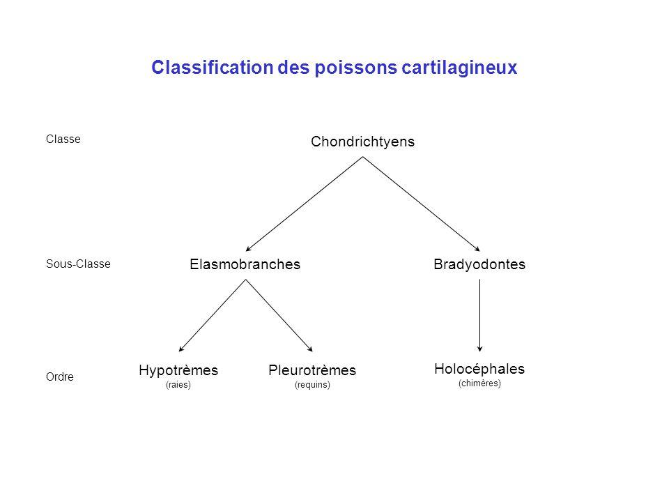 Les poissons : flottabilité Vessie gazeuse chez la plupart des téléostéens : –Évagination du tube digestif généralement isolée de lœsophage –Alimenté par des capillaires sanguins –O 2, CO 2, N 2 en proportions variables puisés dans le milieu –Production de gaz contrôlée par la glande à gaz qui agit sur le pH des capillaires Pas de vessie gazeuse chez les chondrichtyens : la flottabilité est assurée par lhuile contenue dans le foie