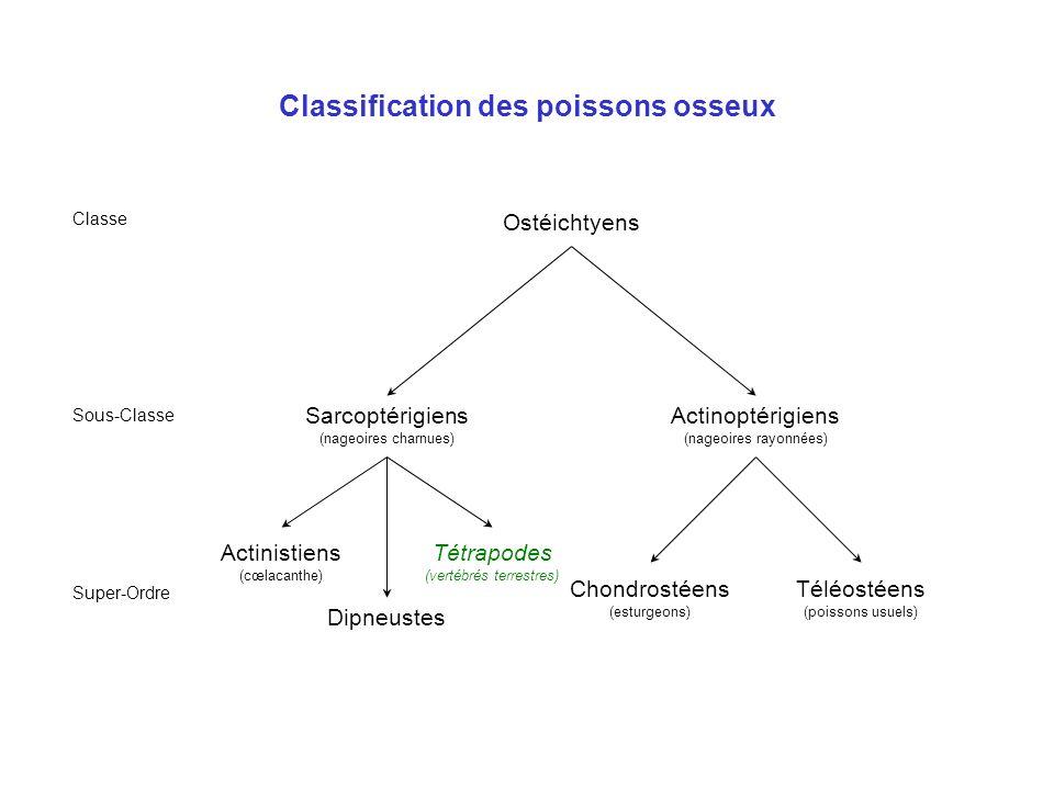Classification des poissons osseux Ostéichtyens Classe Sous-Classe Sarcoptérigiens (nageoires charnues) Actinoptérigiens (nageoires rayonnées) Chondro