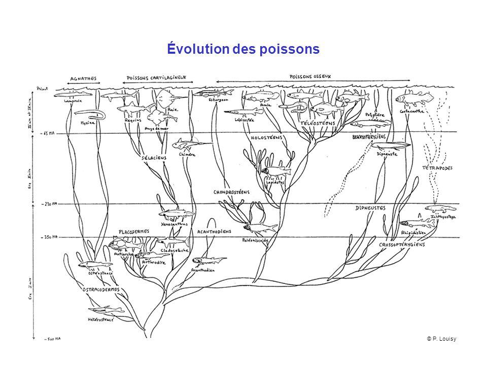 Les poissons : reproduction Sexuée Nombreux cas dhermaphrodisme simultané (serran écriture) ou successif (mérou, dorade,…), contexte social (sex ratio), hormones Comportement : nids (crénilabres), parades (mérous, castagnoles), incubation par le male (apogon, hippocampe) Poissons osseux : ovipares Poissons cartilagineux : ovipares (roussette), ovovivipares, vivipares