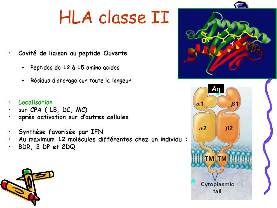 Ag Cavité de liaison au peptide Ouverte –Peptides de 12 à 15 amino acides –Résidus dancrage sur toute la longeur Localisation sur CPA ( LB, DC, MC) après activation sur dautres cellules Synthèse favorisée par IFN Au maximum 12 molécules différentes chez un individu : 8DR, 2 DP et 2DQ HLA classe II
