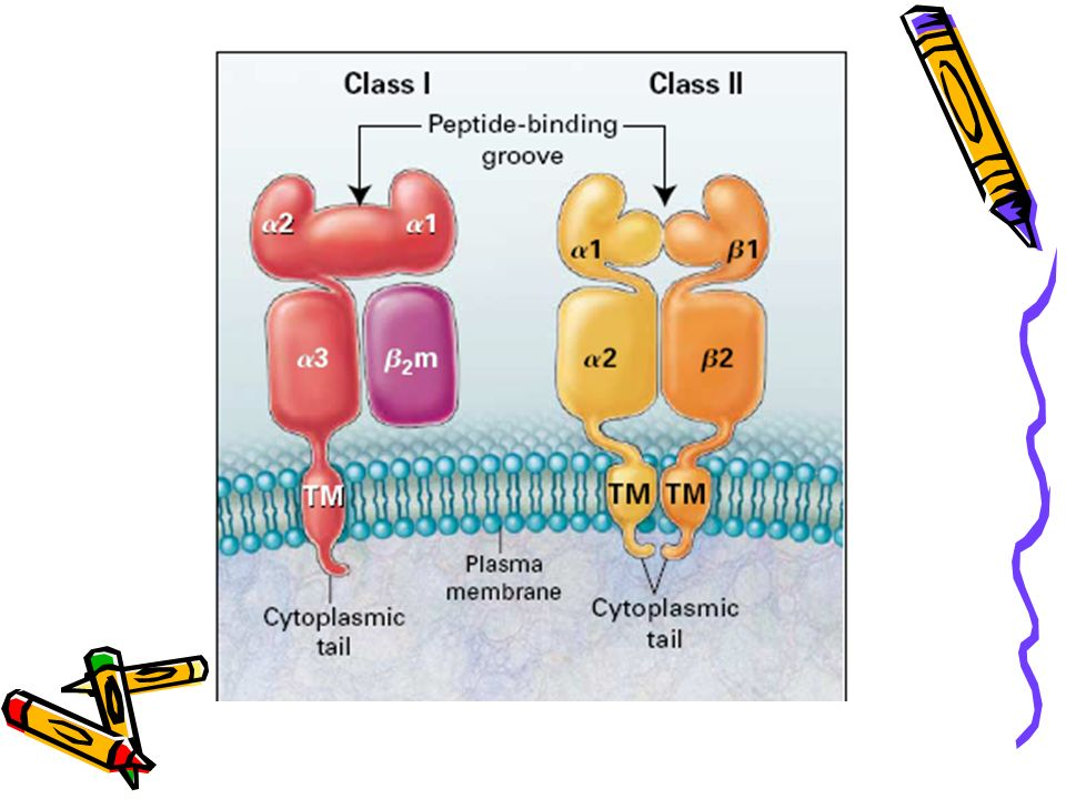 HLA classe I STRUCTURES Classe I classique : HLA-A, HLA-B, HLA-C Non classique :HLA-E, HLA-F, HLA-G, HLA-H Chaîne α : α1+ α2 + α3 + TM + CY 45 kDa, 345AA + β2 micro globuline: 12 kDa Expression de la chaîne α Conformation de la chaîne α Polymorphisme : α1+ α2 α3 constant et interagit avec la CD8 & β2 micro globuline 45KD 12 KD 26 AA 273AA 26 AA 30-35 AA