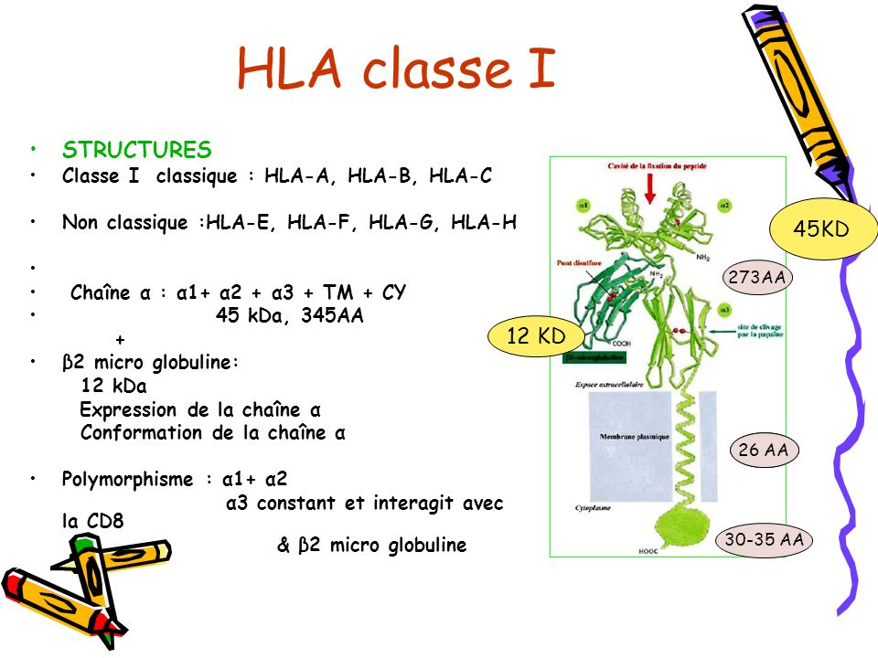 HLA classe I STRUCTURES Classe I classique : HLA-A, HLA-B, HLA-C Non classique :HLA-E, HLA-F, HLA-G, HLA-H Chaîne α : α1+ α2 + α3 + TM + CY 45 kDa, 34