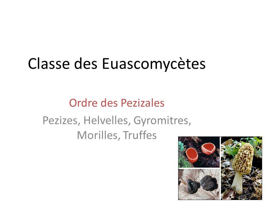 Classe des Euascomycètes Ordre des Pezizales Pezizes, Helvelles, Gyromitres, Morilles, Truffes