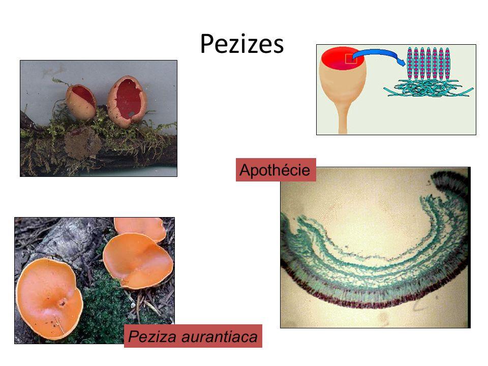 Pezizes Peziza aurantiaca Apothécie