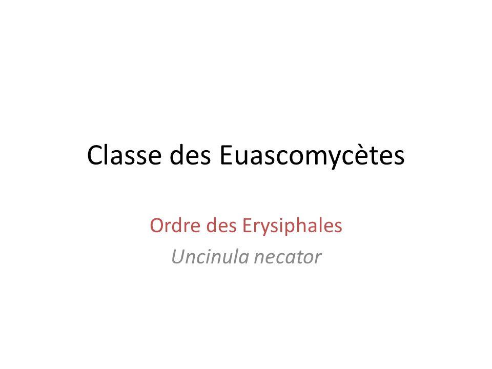 Classe des Euascomycètes Ordre des Erysiphales Uncinula necator