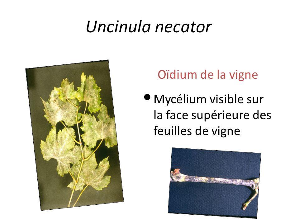 Oïdium de la vigne Mycélium visible sur la face supérieure des feuilles de vigne