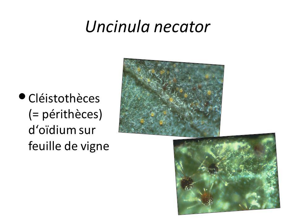 Uncinula necator Cléistothèces (= périthèces) doïdium sur feuille de vigne