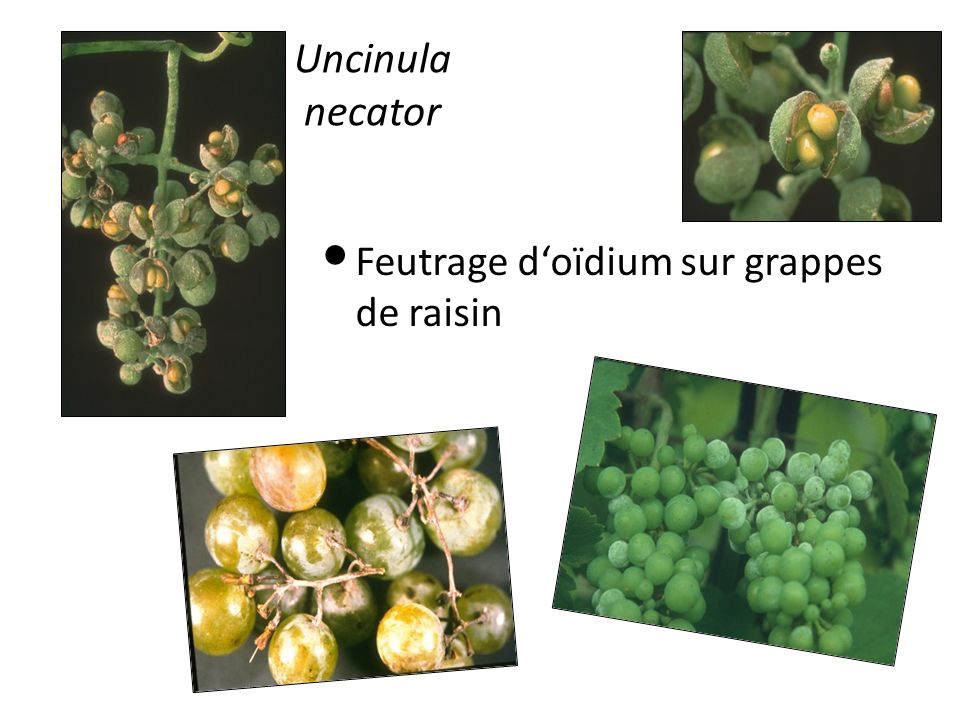 Uncinula necator Feutrage doïdium sur grappes de raisin