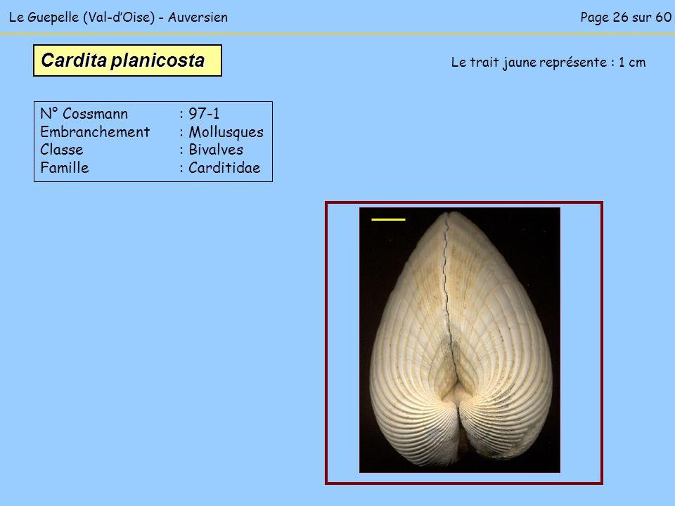 Le Guepelle (Val-dOise) - Auversien Le trait jaune représente : 1 cm Cardita planicosta N° Cossmann : 97-1 Embranchement : Mollusques Classe : Bivalve