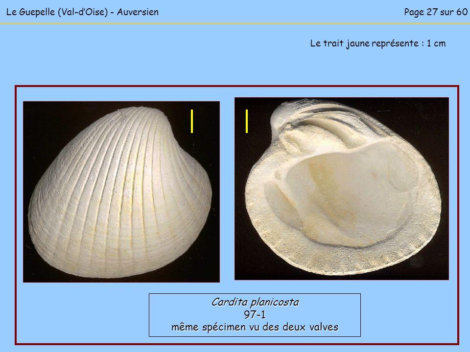 Le Guepelle (Val-dOise) - Auversien Le trait jaune représente : 1 cm Cardita planicosta 97-1 même spécimen vu des deux valves Page 27 sur 60