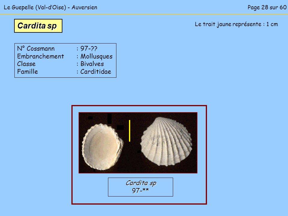 Le Guepelle (Val-dOise) - Auversien Le trait jaune représente : 1 cm Cardita sp 97-** N° Cossmann : 97-?? Embranchement : Mollusques Classe : Bivalves