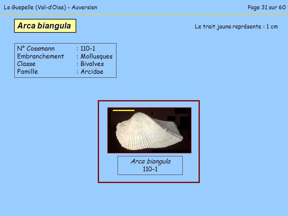 Le Guepelle (Val-dOise) - Auversien Le trait jaune représente : 1 cm Arca biangula 110-1 Arca biangula N° Cossmann : 110-1 Embranchement : Mollusques
