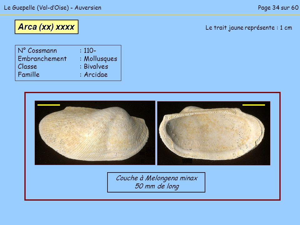 Le Guepelle (Val-dOise) - Auversien Le trait jaune représente : 1 cm Couche à Melongena minax 50 mm de long Arca (xx) xxxx N° Cossmann : 110- Embranch