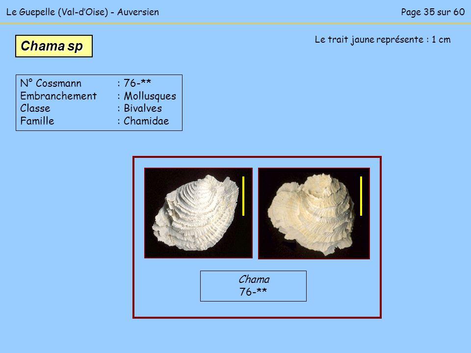 Le Guepelle (Val-dOise) - AuversienPage 35 sur 60 Le trait jaune représente : 1 cm Chama 76-** Chama sp N° Cossmann : 76-** Embranchement : Mollusques