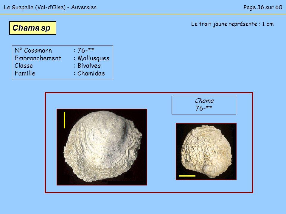 Le Guepelle (Val-dOise) - Auversien Le trait jaune représente : 1 cm Chama 76-** Chama sp N° Cossmann : 76-** Embranchement : Mollusques Classe : Biva