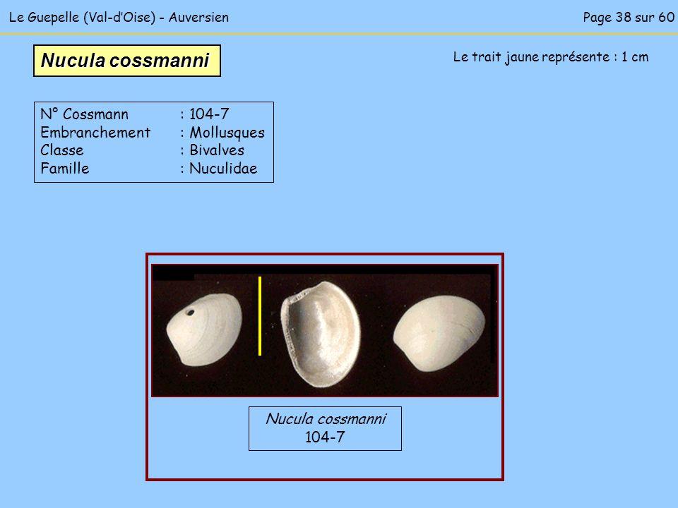 Le Guepelle (Val-dOise) - Auversien Le trait jaune représente : 1 cm Nucula cossmanni 104-7 Nucula cossmanni N° Cossmann : 104-7 Embranchement : Mollu