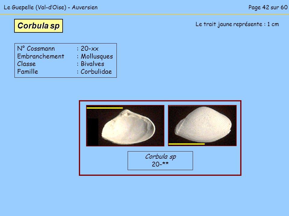 Le Guepelle (Val-dOise) - Auversien Le trait jaune représente : 1 cm Corbula sp 20-** Corbula sp N° Cossmann : 20-xx Embranchement : Mollusques Classe
