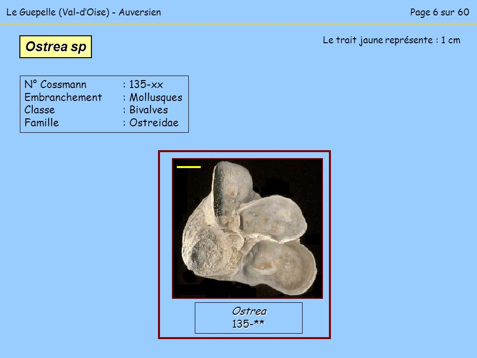 Le Guepelle (Val-dOise) - Auversien Le trait jaune représente : 1 cm Ostrea135-** Ostrea sp N° Cossmann : 135-xx Embranchement : Mollusques Classe : B