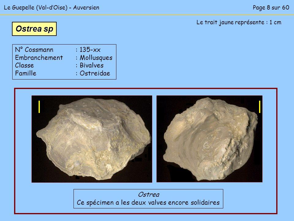 Le Guepelle (Val-dOise) - Auversien Le trait jaune représente : 1 cm Ostrea Ce spécimen a les deux valves encore solidaires Ostrea sp N° Cossmann : 13