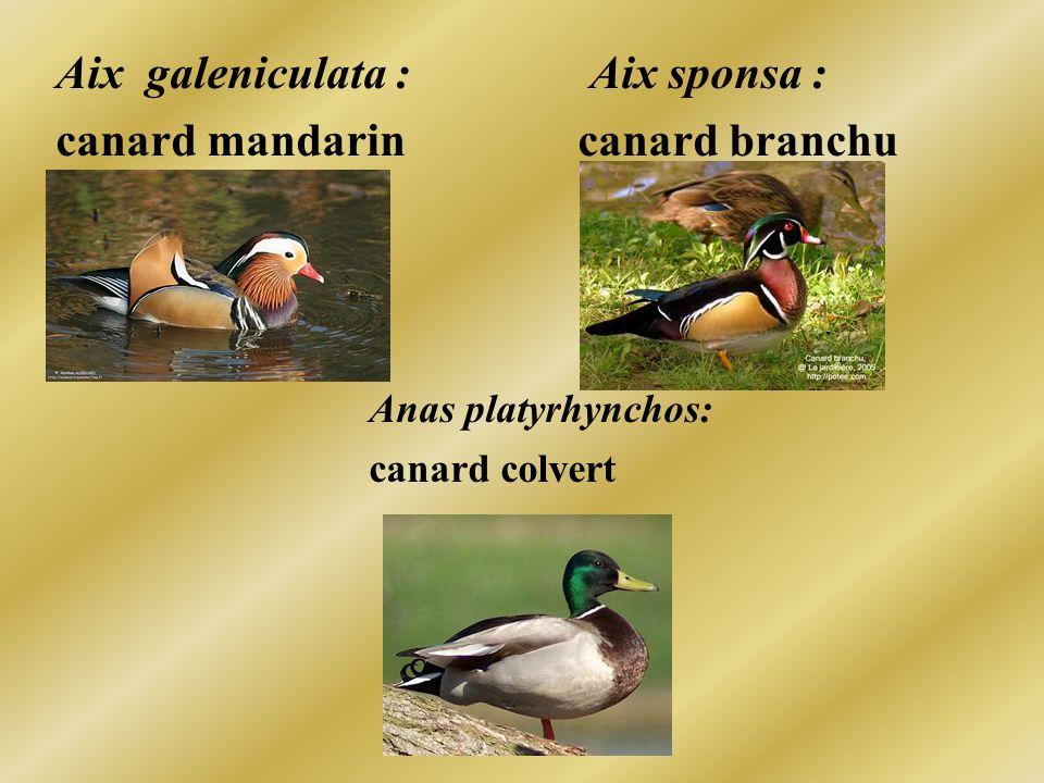 Aix galeniculata : Aix sponsa : canard mandarin canard branchu Anas platyrhynchos: canard colvert