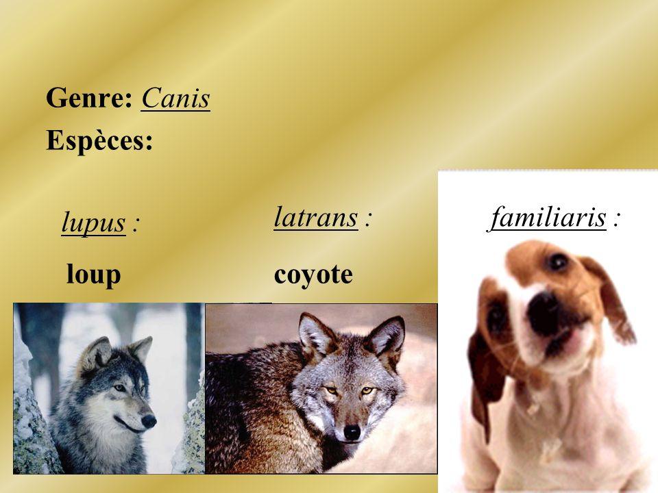Genre: Canis Espèces: familiaris : lupus : latrans : coyoteloup
