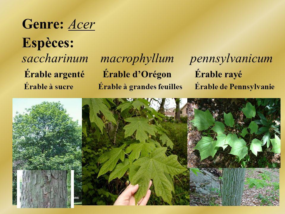 Genre: Acer Espèces: saccharinumpennsylvanicummacrophyllum Érable argentéÉrable rayéÉrable dOrégon Érable à sucreÉrable de PennsylvanieÉrable à grande