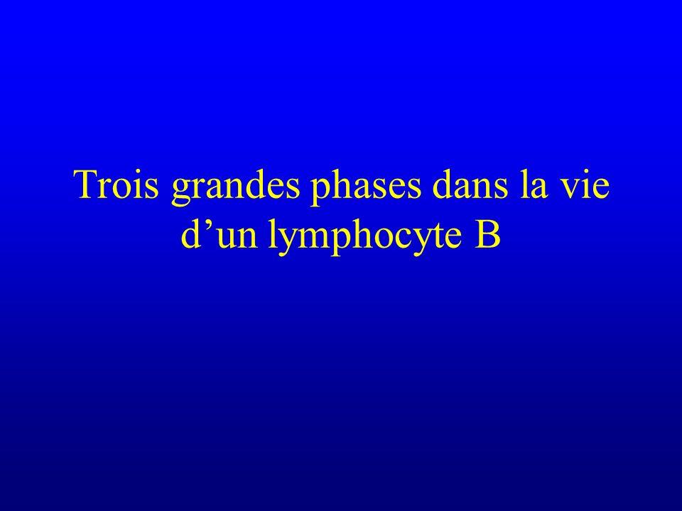 Trois grandes phases dans la vie dun lymphocyte B