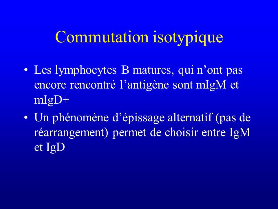 Commutation isotypique Les lymphocytes B matures, qui nont pas encore rencontré lantigène sont mIgM et mIgD+ Un phénomène dépissage alternatif (pas de