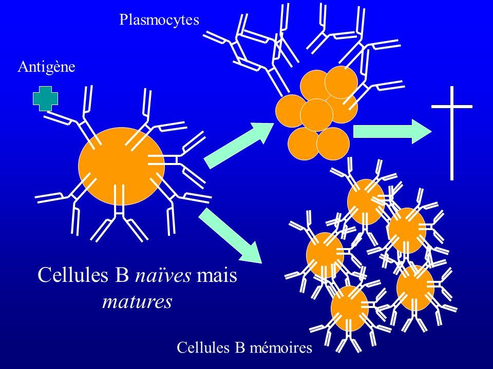 Cellules B naïves mais matures Cellules B mémoires Antigène Plasmocytes