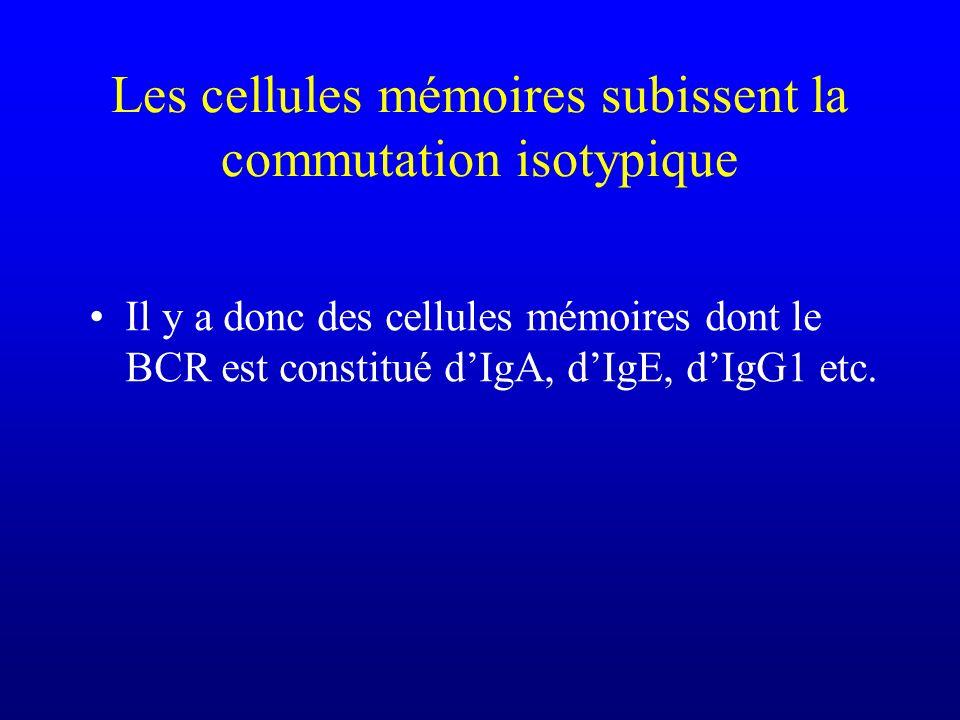 Les cellules mémoires subissent la commutation isotypique Il y a donc des cellules mémoires dont le BCR est constitué dIgA, dIgE, dIgG1 etc.