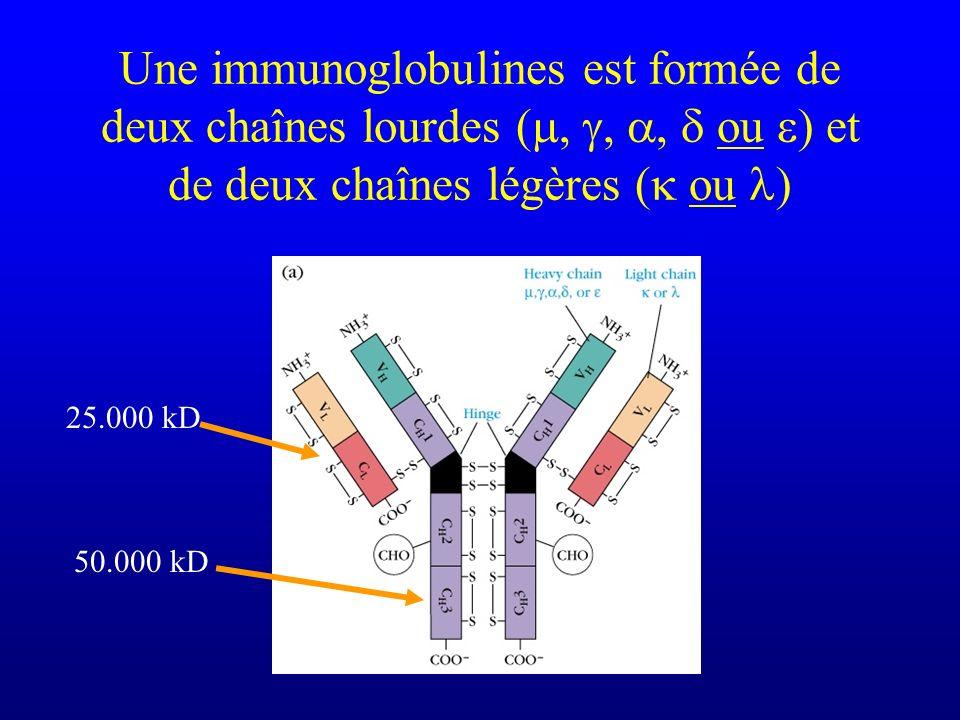 Une immunoglobulines est formée de deux chaînes lourdes (,,, ou ) et de deux chaînes légères ( ou ) 50.000 kD 25.000 kD