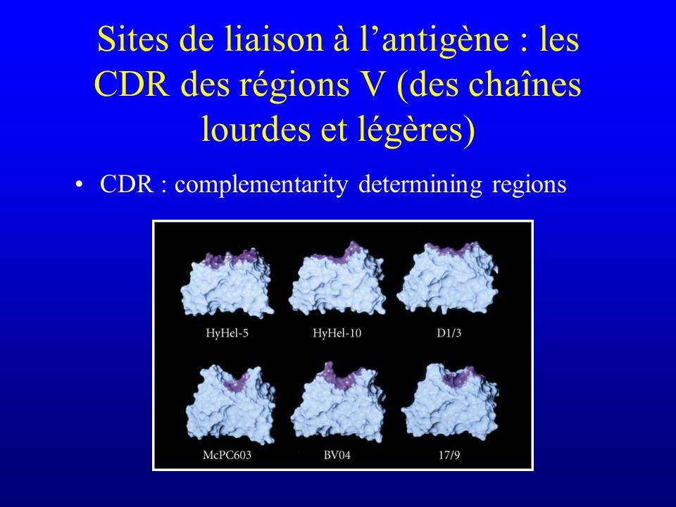 Sites de liaison à lantigène : les CDR des régions V (des chaînes lourdes et légères) CDR : complementarity determining regions