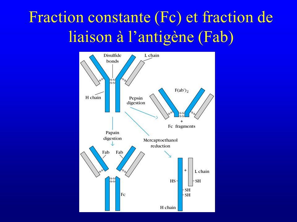 Fraction constante (Fc) et fraction de liaison à lantigène (Fab)