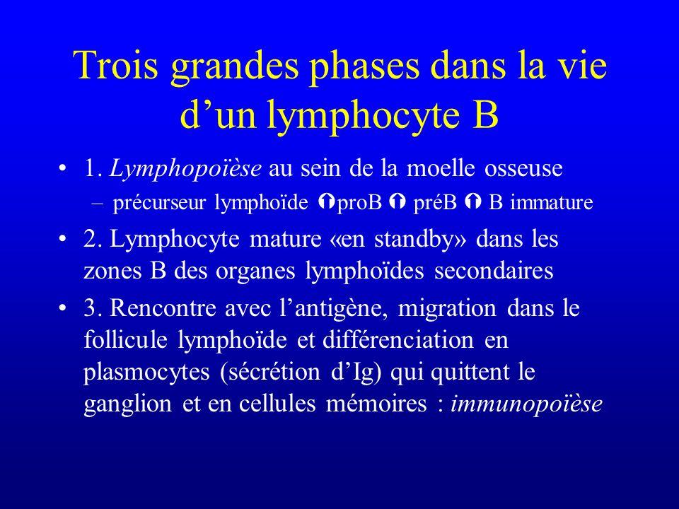 Trois grandes phases dans la vie dun lymphocyte B 1. Lymphopoïèse au sein de la moelle osseuse –précurseur lymphoïde proB préB B immature 2. Lymphocyt