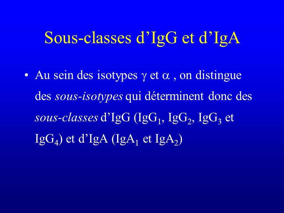 Sous-classes dIgG et dIgA Au sein des isotypes et, on distingue des sous-isotypes qui déterminent donc des sous-classes dIgG (IgG 1, IgG 2, IgG 3 et I