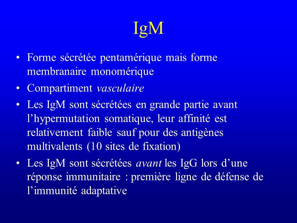IgM Forme sécrétée pentamérique mais forme membranaire monomérique Compartiment vasculaire Les IgM sont sécrétées en grande partie avant lhypermutatio