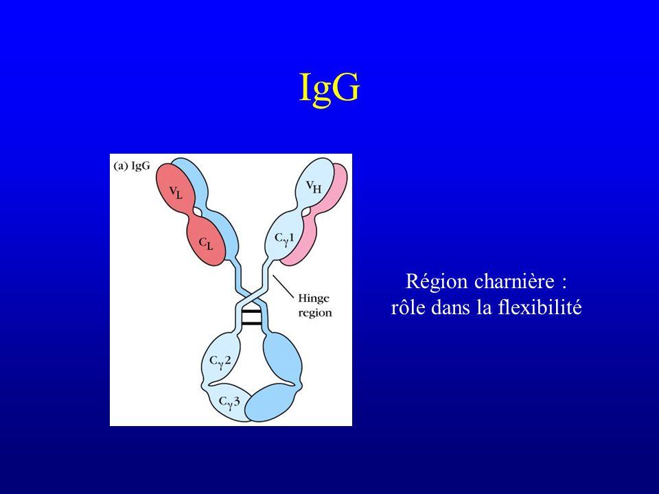 IgG Région charnière : rôle dans la flexibilité