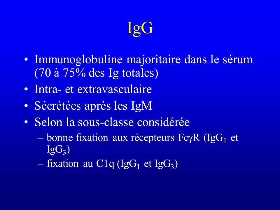 IgG Immunoglobuline majoritaire dans le sérum (70 à 75% des Ig totales) Intra- et extravasculaire Sécrétées après les IgM Selon la sous-classe considé