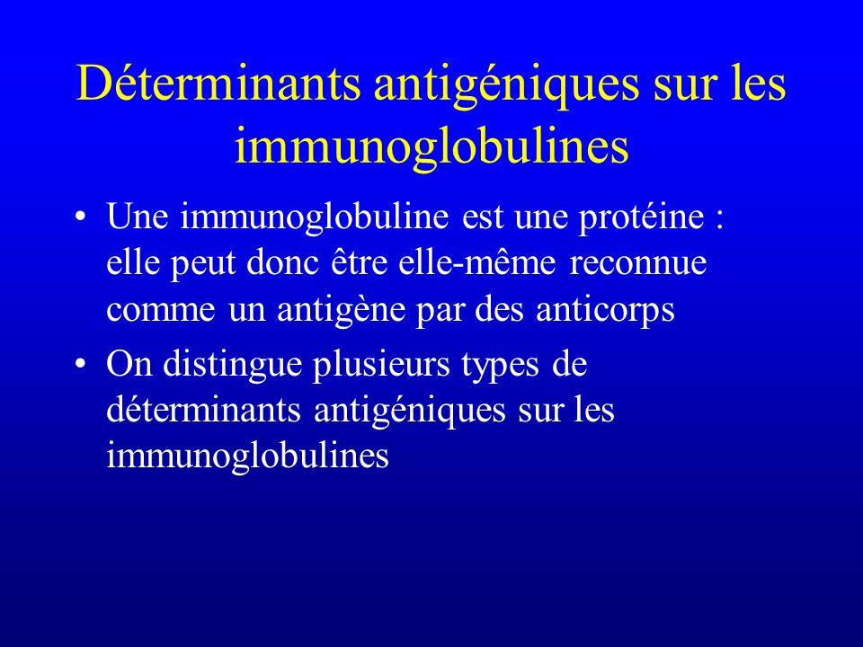 Déterminants antigéniques sur les immunoglobulines Une immunoglobuline est une protéine : elle peut donc être elle-même reconnue comme un antigène par