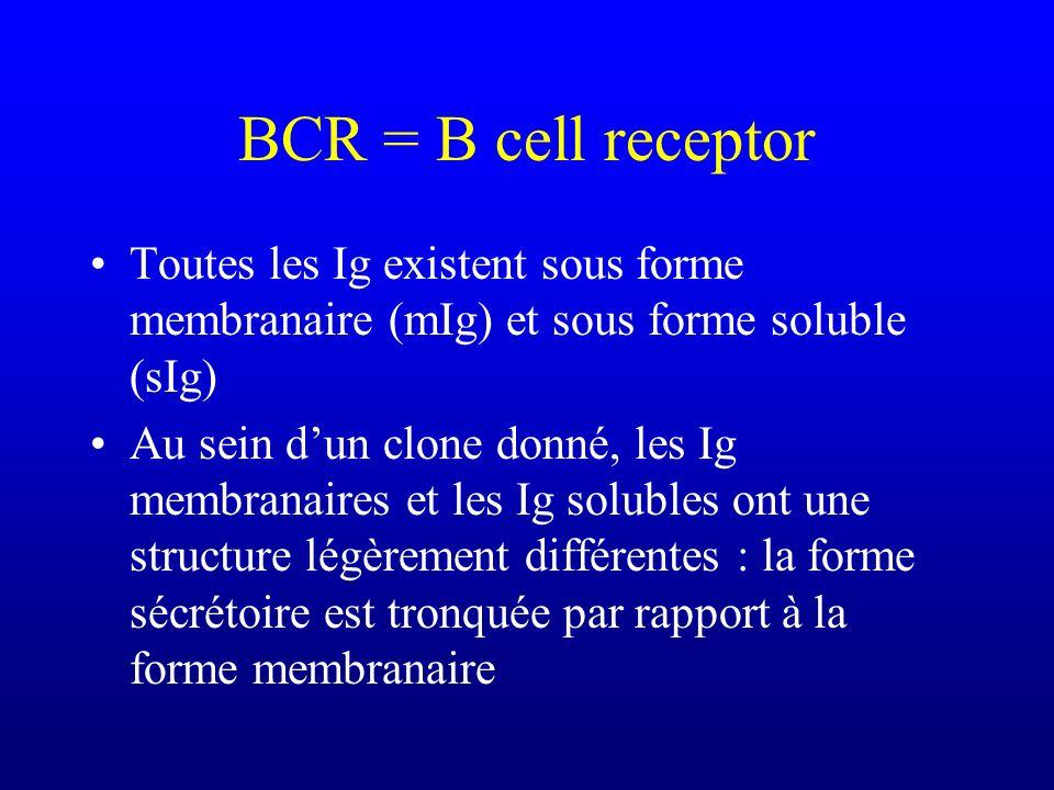 BCR = B cell receptor Toutes les Ig existent sous forme membranaire (mIg) et sous forme soluble (sIg) Au sein dun clone donné, les Ig membranaires et