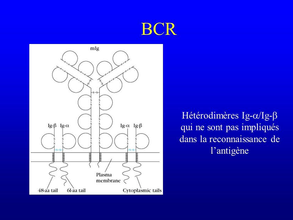 BCR Hétérodimères Ig- /Ig- qui ne sont pas impliqués dans la reconnaissance de lantigène