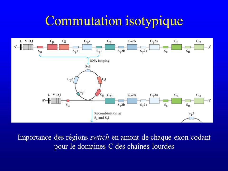 Commutation isotypique Pas de région switch entre C et C, donc avant que la commutation isotypique nait commencé, les lymphocytes B expriment des IgM et des IgD membranaires
