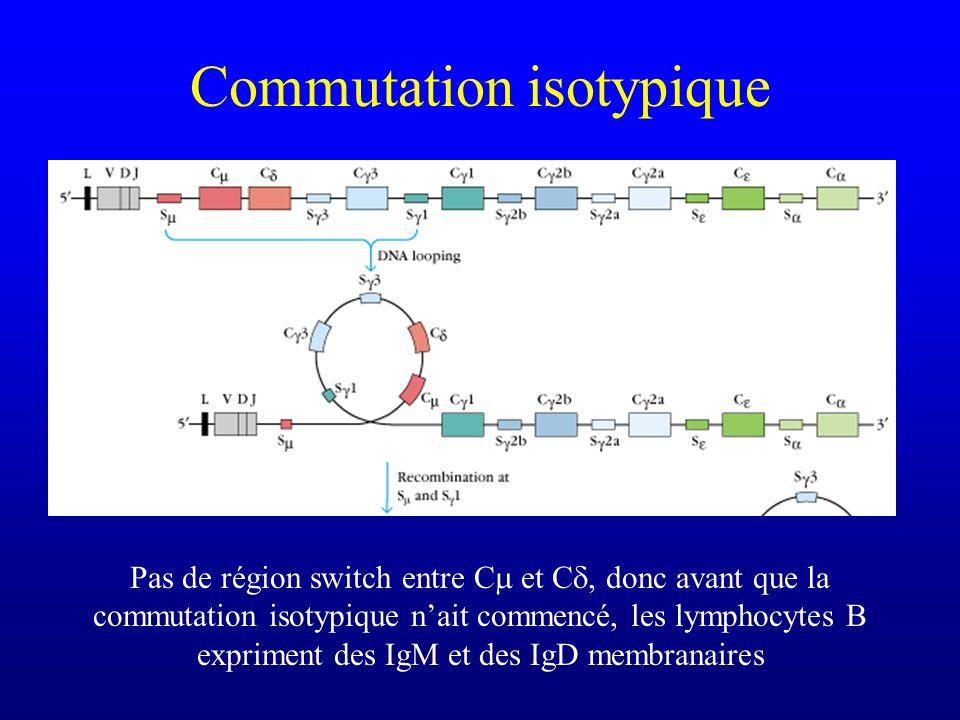Commutation isotypique Les lymphocytes B matures, qui nont pas encore rencontré lantigène sont mIgM et mIgD+ Un phénomène dépissage alternatif (pas de réarrangement) permet de choisir entre IgM et IgD