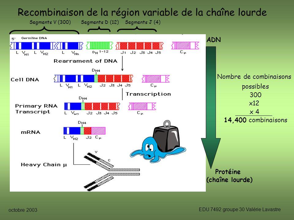 octobre 2003 EDU 7492 groupe 30 Valérie Lavastre Recombinaison de la région variable de la chaîne lourde Segments V (300)Segments D (12)Segments J (4) Nombre de combinaisons possibles 300 x12 x 4 14,400 combinaisons ADN Protéine (chaîne lourde)