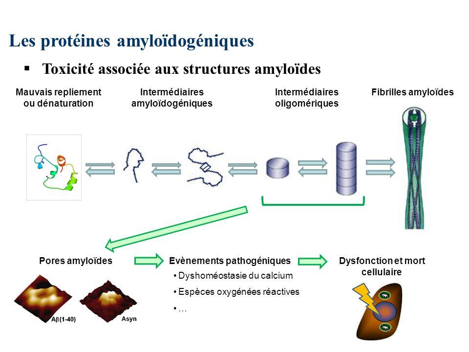 Les protéines amyloïdogéniques Toxicité associée aux structures amyloïdes Fibrilles amyloïdesIntermédiaires oligomériques Intermédiaires amyloïdogéniques Mauvais repliement ou dénaturation Evènements pathogéniques Dyshoméostasie du calcium Espèces oxygénées réactives … Dysfonction et mort cellulaire Pores amyloïdes
