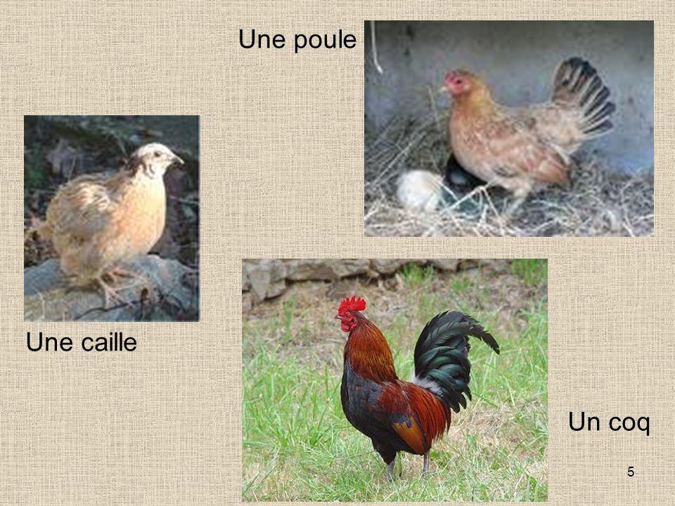5 Une caille Un coq Une poule