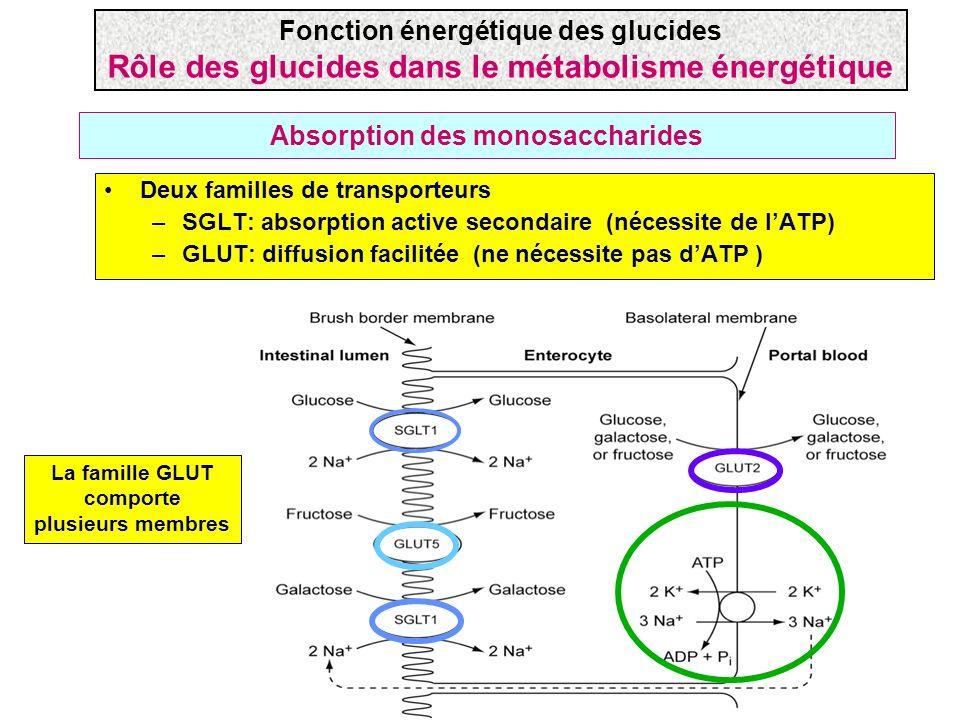 Absorption des monosaccharides Deux familles de transporteurs –SGLT: absorption active secondaire (nécessite de lATP) –GLUT: diffusion facilitée (ne n