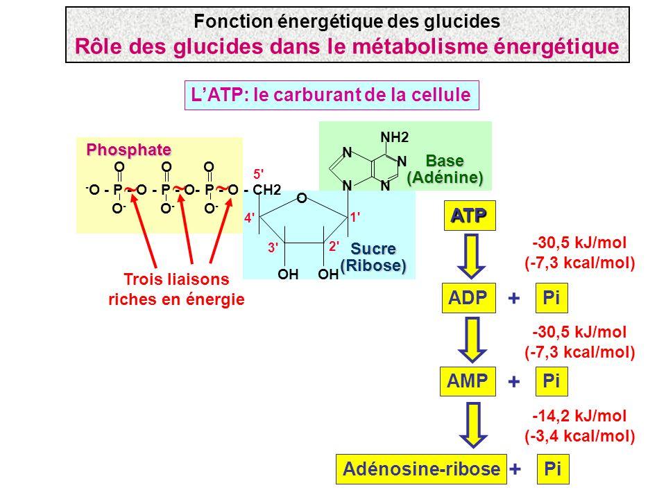 LATP: le carburant de la cellule - O - P - O - P - O- P - O - CH2 N N N N NH2 OH OOO O-O- O-O- O-O- 1' 2' 3' 4' 5' ATP O Phosphate Sucre(Ribose) Base(
